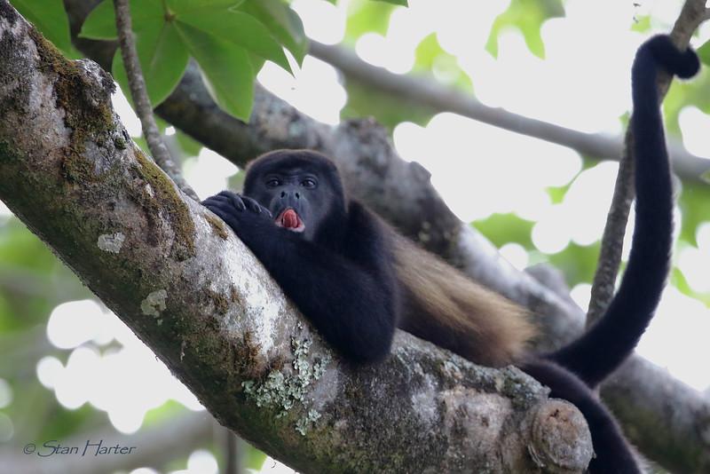 Howler Monkey 2.jpg