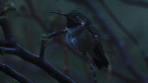 Hummingbird Video
