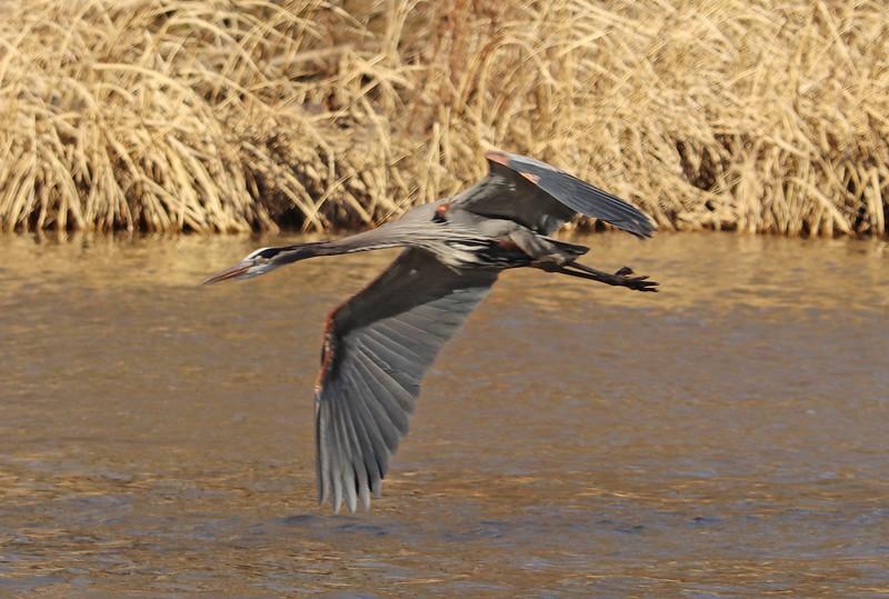Heron in flight 4