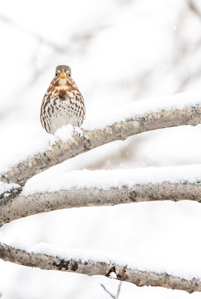 Fox Sparrow in snow October Skogstjarna Carlton County MN  IMGC7850.jpg