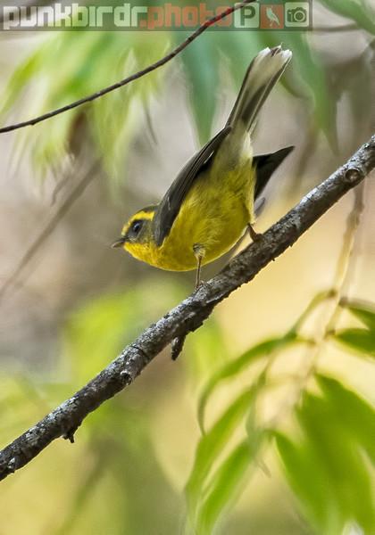 Yellow-bellied Fantail (Rhipidura hypoxantha)