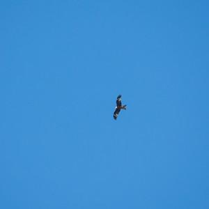 030-05 Milvus milvus, Glada, Red Kite