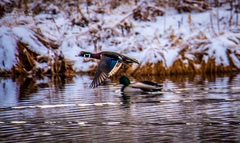 woodduck flight.jpg