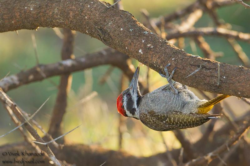 Bearded Woodpecker - Male - Serengeti National Park, Tanzania