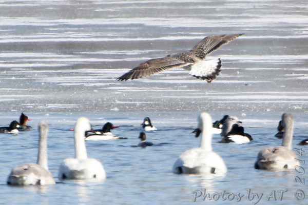 2014-02-03 Riverlands Migratory Bird Sanctuary