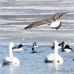 Great Black-backed Gull, Trumpeter Swans, Herring Gull, Common Mergansers and Common Goldeneye