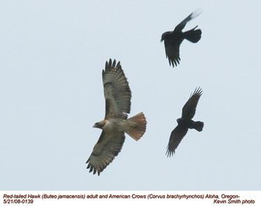 RedTailedHawk&Crows0139.jpg