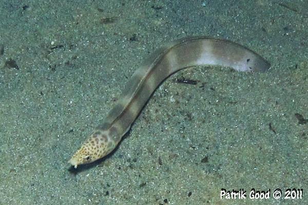 Halfband Snake Eel