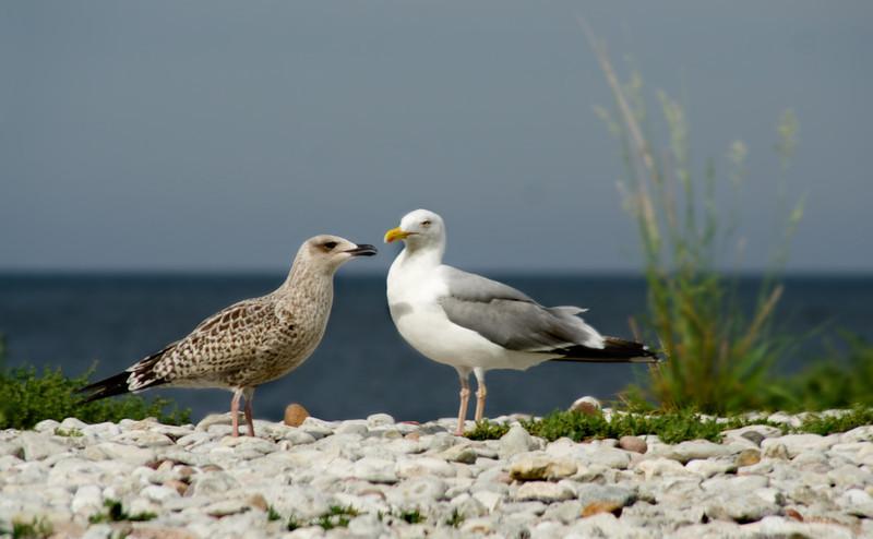 Gotland 20110608_0068.jpg