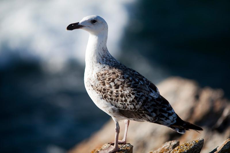 Seagull, Quiberon, Brittany, France