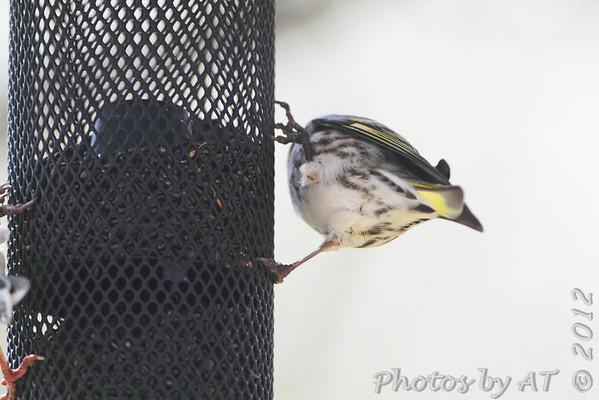 """2012 """"March"""" Yardbirds"""