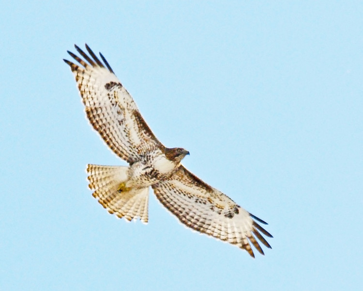 Red-tailed Hawk FB 14.jpg