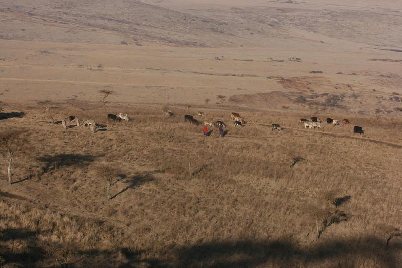 Maasi herding cows near Ngorongoro Crater