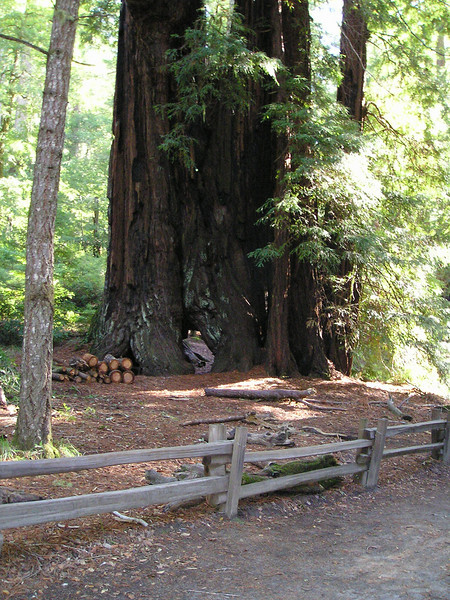 The Redwood Trail led us among redwoods of various sizes and several small groves, where young redoods like these circled the skeleton of its huge ancient ancestor.