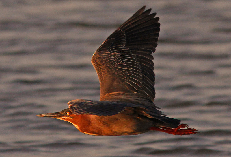 Green Heron Sunset Flyout