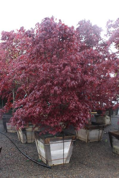 Acer palmatum 'Bloodgood' Specimen, 3 in, #30 box.JPG