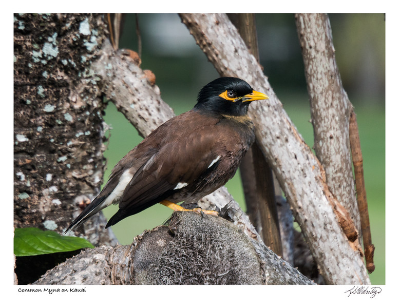 180129_MG_8779 Common Myna on Kauai.jpg