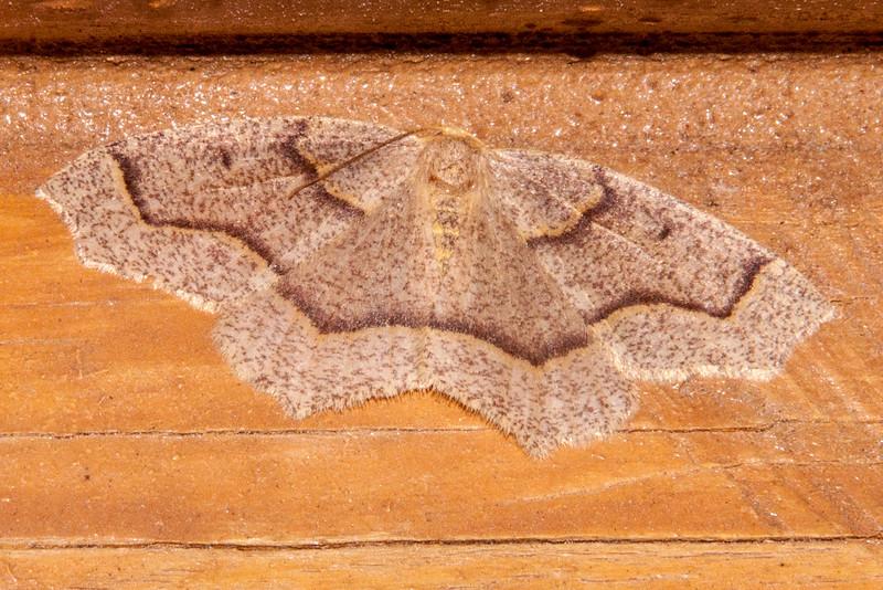 Looper - Hemlock - (Lambdina fiscellaria) - Dunning Lake - Itasca County, MN