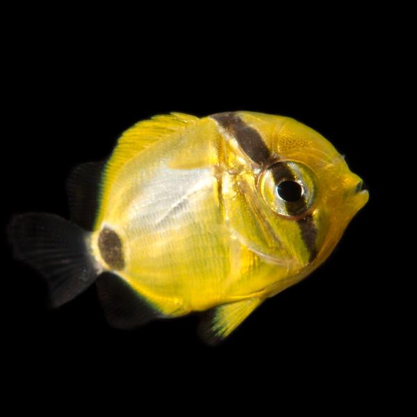 Juvenile Butterflyfish (Chaetodon plebeius)