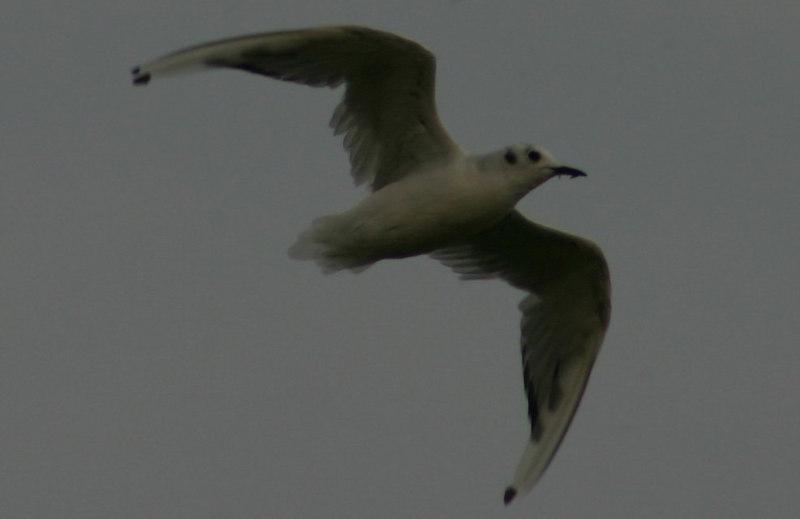 Bonapartes Gull - August 29th
