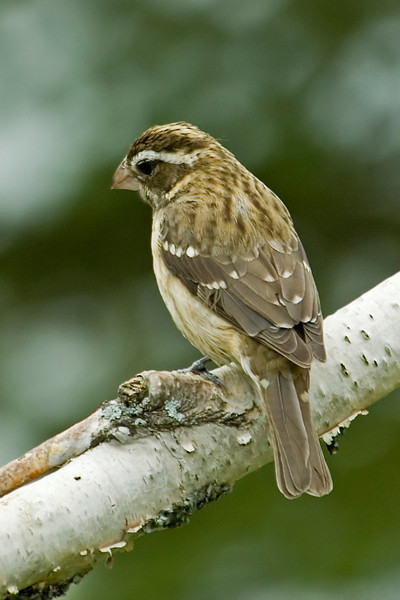 Grosbeak - Rose-breasted - female - Dunning Lake, MN - 05