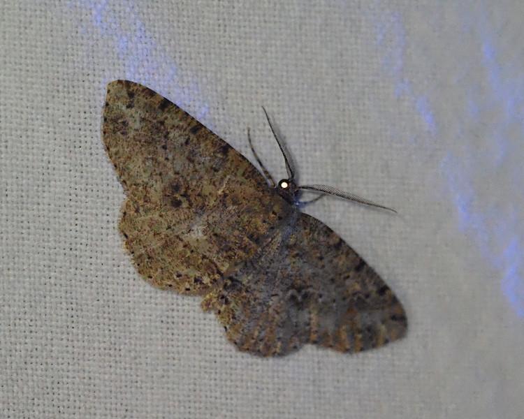 Canadian Melanolophia - 6620