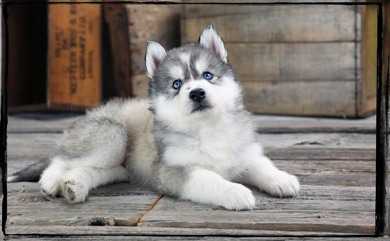 Huskies-427.jpg