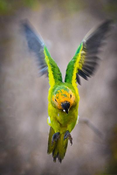 Parakeet in flight (1 of 1).jpg