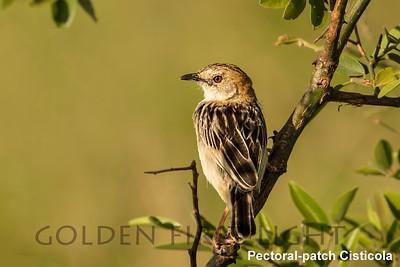 Pectoral-patch Cisticola, Kenya