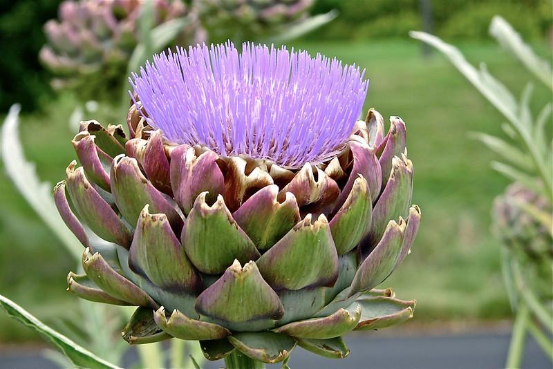 3_11_19 Artichokes Blooming.jpg