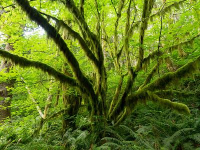 Saddle Mountain, Saddle Mountain State Park near Portland Oregon,  07/18/2016
