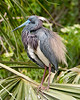 Rufled Feathers: Tri-colored Heron at the Alligator Farm #1 04/14