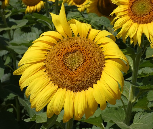 Heart Sunflower 1.jpg