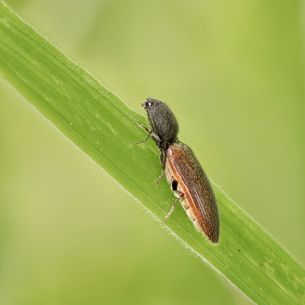 Athous haemorrhoidalis. Click beetle.