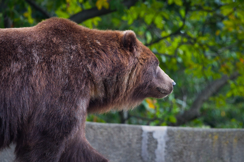Grizzly_BronxZoo_20170930.jpg