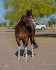 Equine Confirmation/Sales