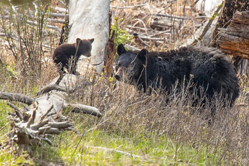 Yellowstone_May_2014_FH0T5907.jpg