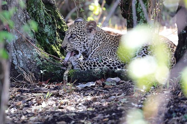 Leopard Mara Reserve Kenya 2017