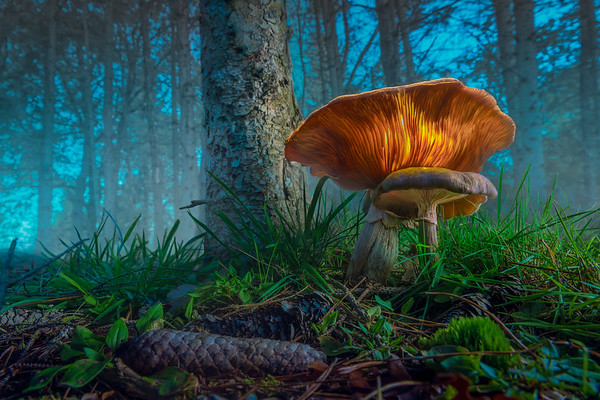 Fine Art natuur foto van lichtgevende granaatbloemwasplaat paddestoel aan de voet van een naaldboom in een donker mistig bos met denneappels op de voorgrond.