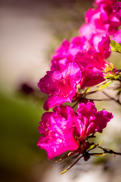 Spring '17 - Backyard Azaleas