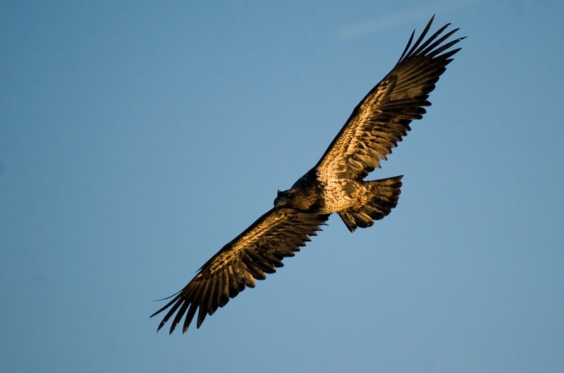 This image of a juvenile bald eagle was captured at the Mississippi River near Clarksville, Missouri