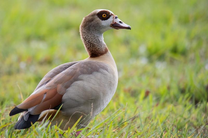 Egyptian Goose So. Florida 2020-2.jpg