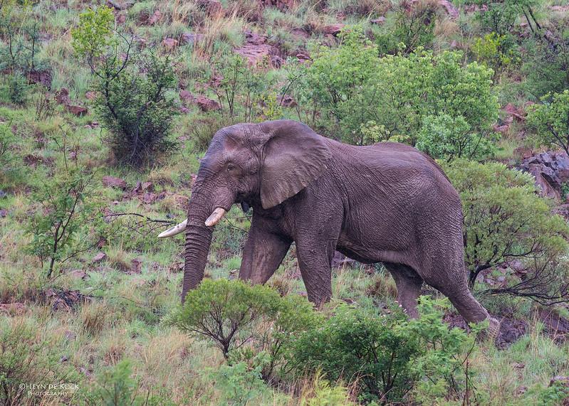 African Elephant, Pilansberg National Park, SA, Dec 2013-8.jpg