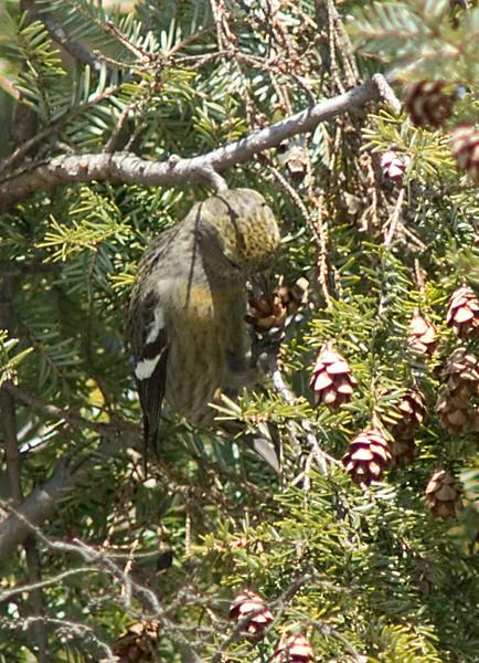 White-winged Crossbill  Female