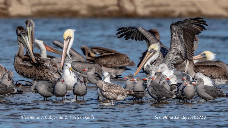 _DSC1927Heerrmann's Gulls & Br Pelicans.jpg