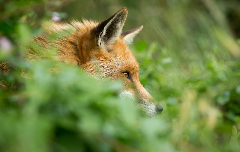 Red Fox (Vulpes vulpes) intently watching and waiting, Captive