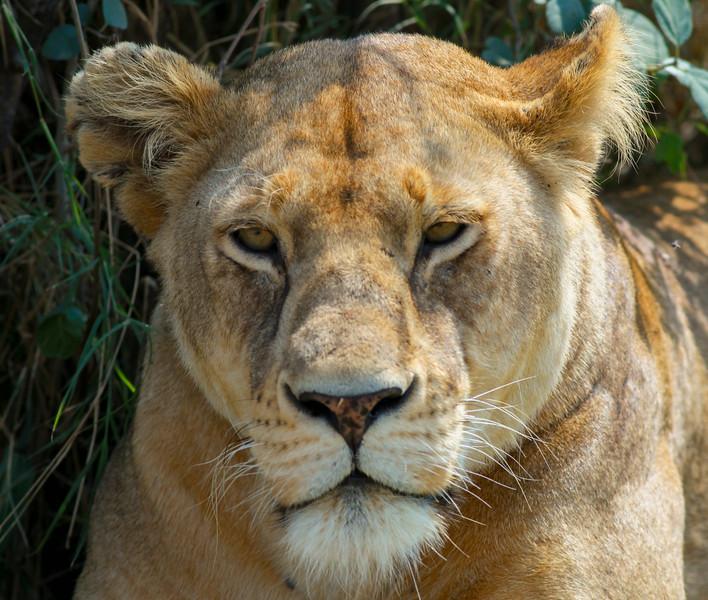 Lion  Serengeti NP Tanzania  2014 07 09-4.JPG (4 of 4).JPG