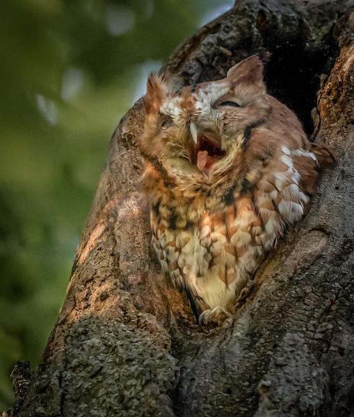Screech Owl (rufous) Big Yawn