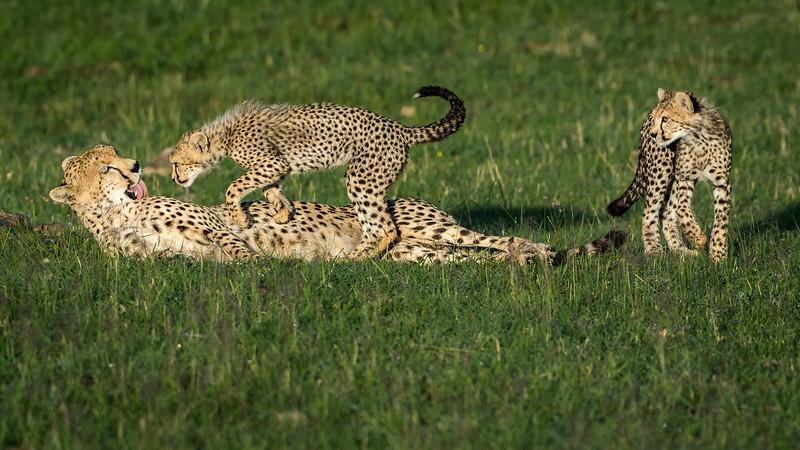 Cheetahs-0214.jpg