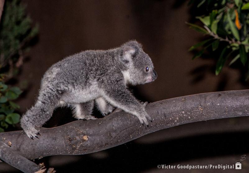 Koalafornia-52.jpg